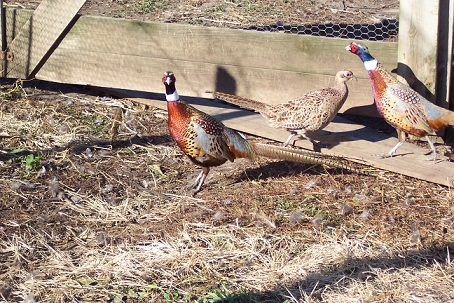 What Does Day Length Have To Do With Pheasant Mating?