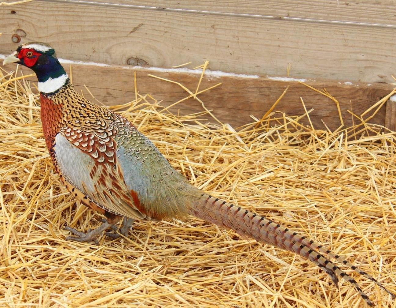 Life on MacFarlane Pheasants' Milton, Wisconsin Farm