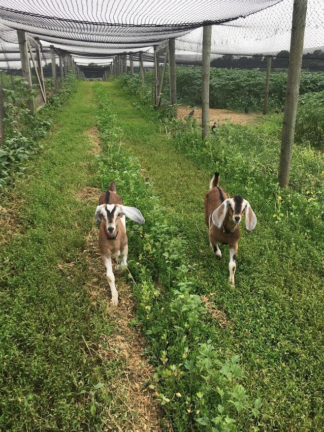 Can Goats Be Helpful on a Pheasant Farm?