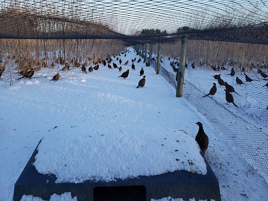 How is MacFarlane Pheasants doing In The Deep Freeze?