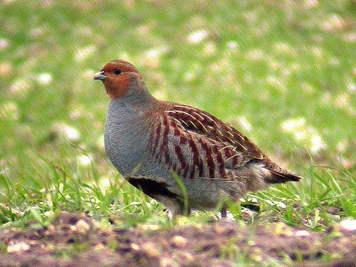 Hungarian Partridges Are Raised at MacFarlane Pheasants