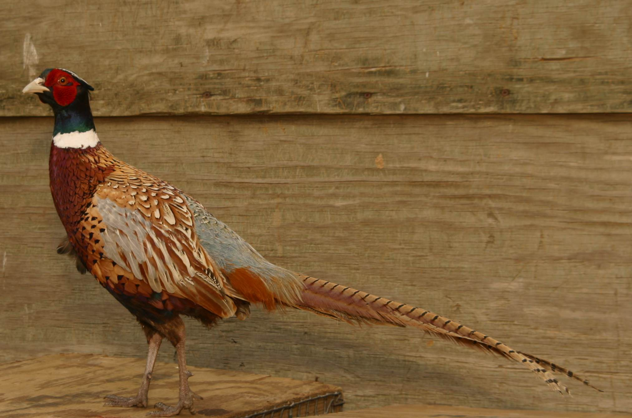 Pheasant Traits Hunters Love to See in the Wild