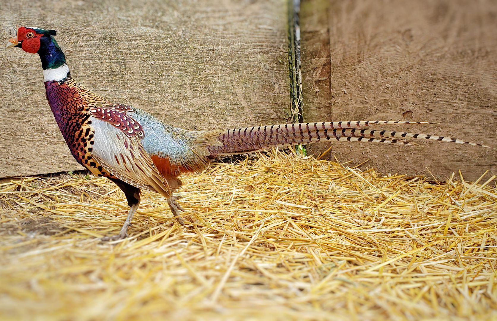 Mature Pheasants Are Still Available At MacFarlane Pheasants, Inc.
