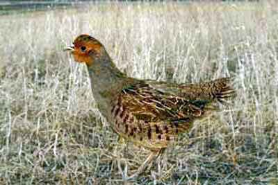 Raising Hungarian Partridges is Challenging and Exciting!