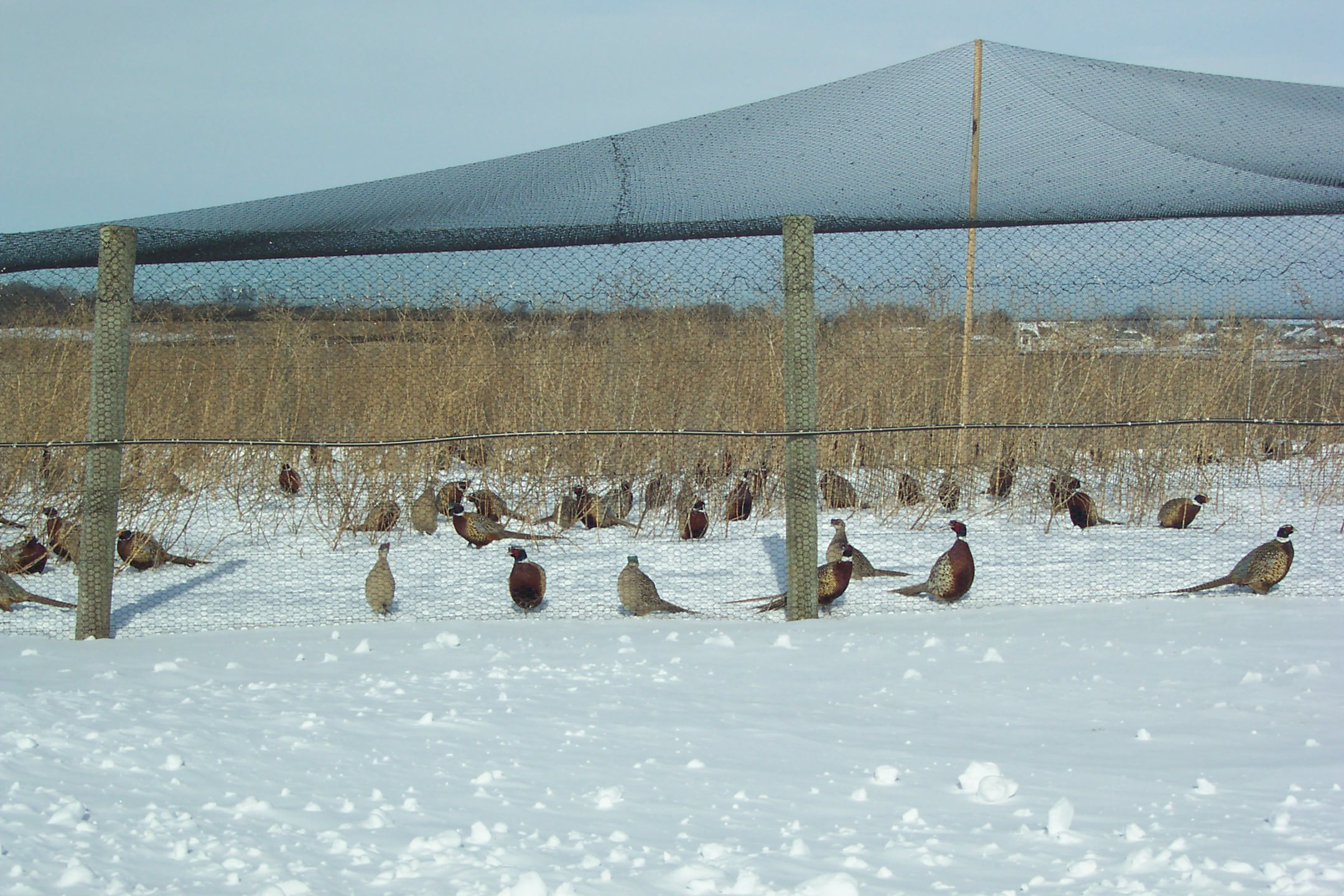 Winterizing Pens Keeps Game Bird Farmers Busy