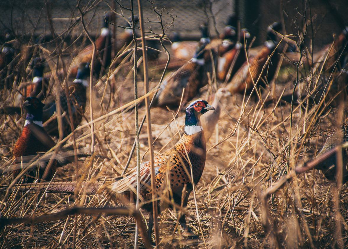 The Mature Pheasant Season is Off and Running at  MacFarlane Pheasants, Inc.