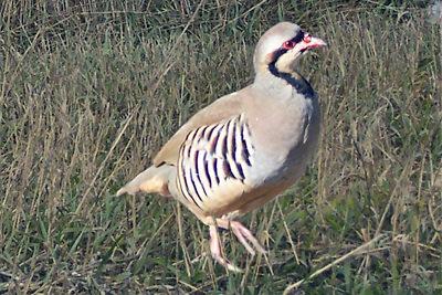 Chukar Redleg Partridge Pheasant