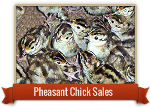 Chick Sales