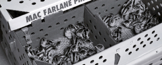 Pheasant Chicks in a MacFarlane Shipping Box